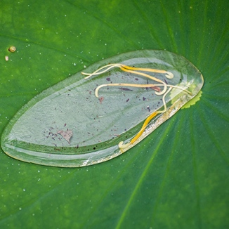 lily pads with water-2 small
