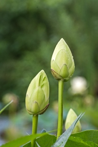 lotus blossoms-2 small