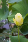 lotus blossoms-3 small