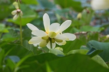 lotus blossoms-6 small
