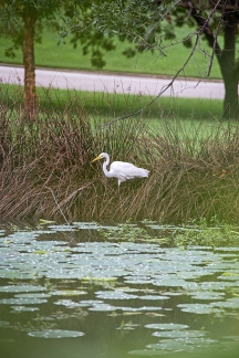 white egret from cover and lily pads-2 small