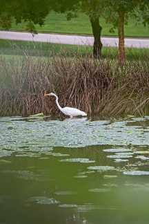 white egret from cover and lily pads-3 small
