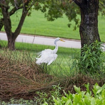 white egret from cover and lily pads-6 small