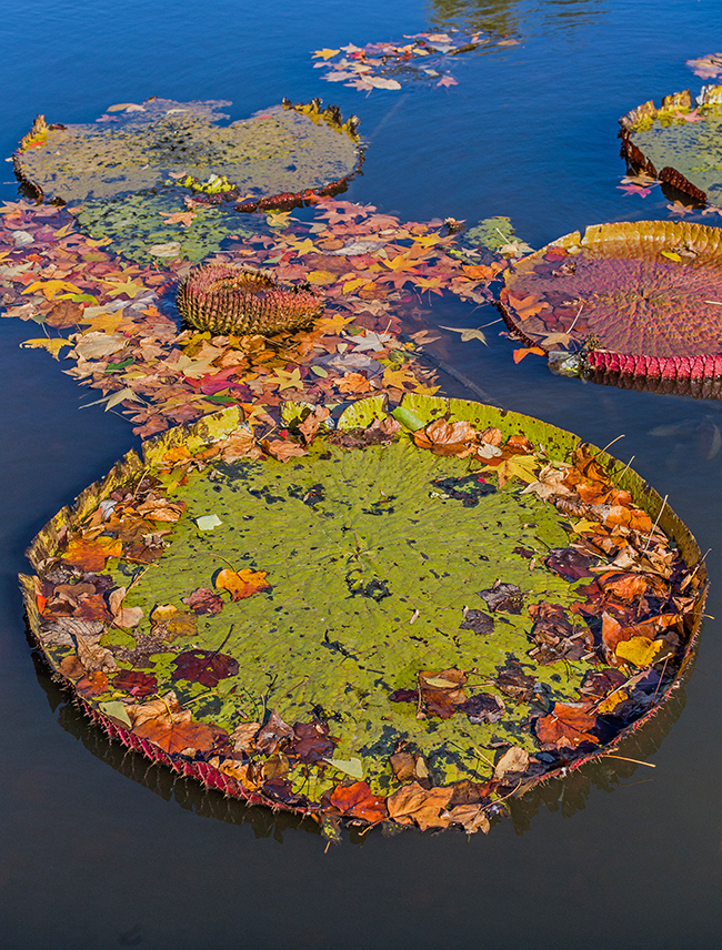 dreamcatchers-lily-pads-and-autumn-leaves-1-small
