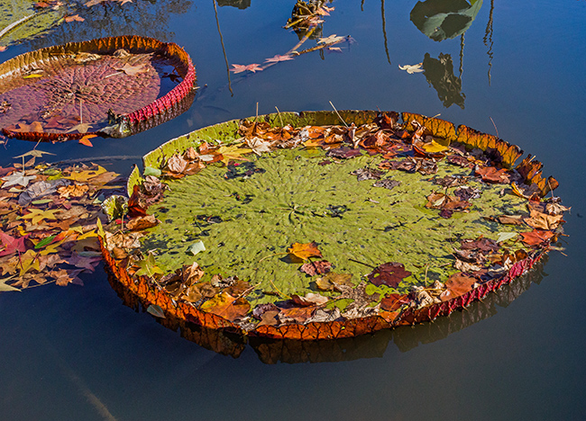dreamcatchers-lily-pads-and-autumn-leaves-2-small