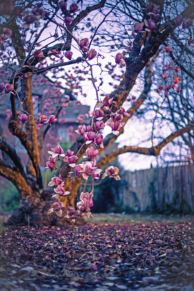 queen magnolia-1 small