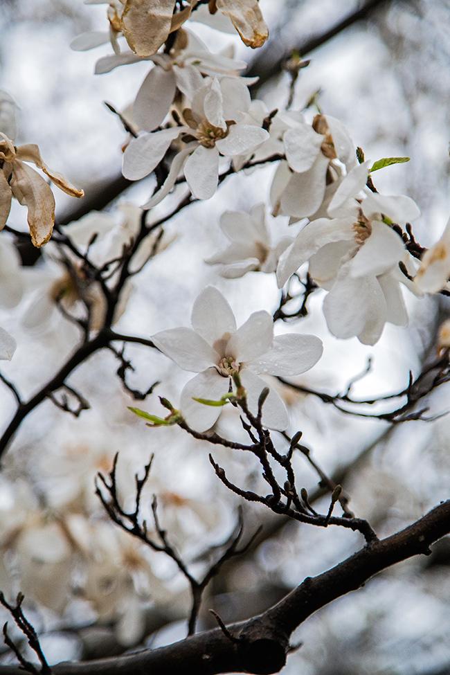 rainy day magnolias-1 small