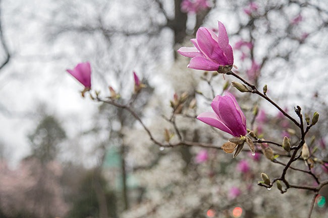 rainy day magnolias-2 small