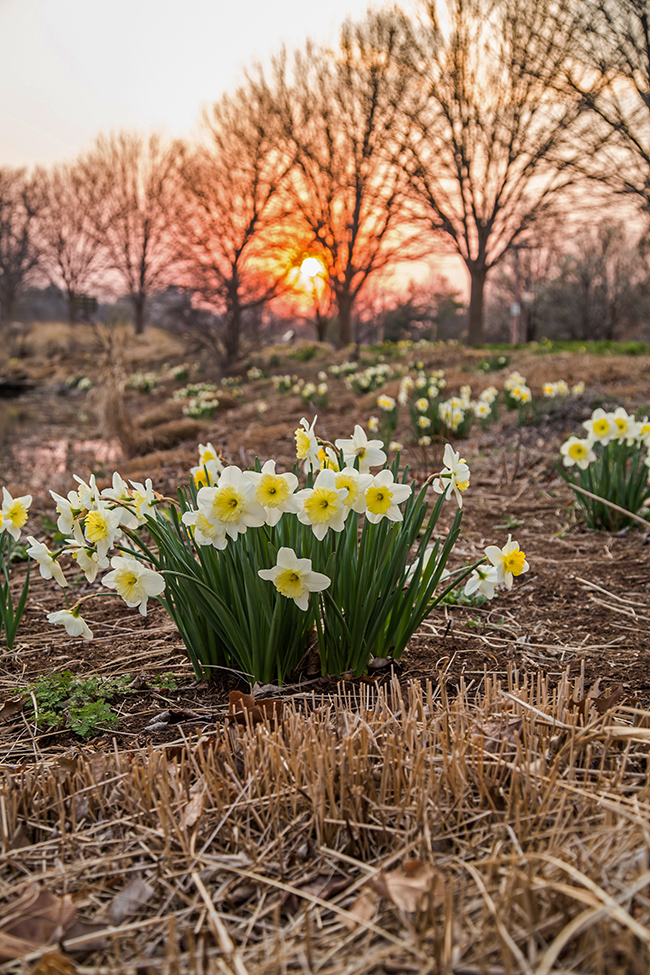 sunset at pagoda circle with daffodils-2 small