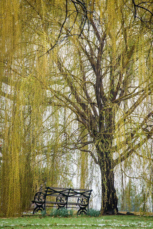 weeping willow and bench-1 small