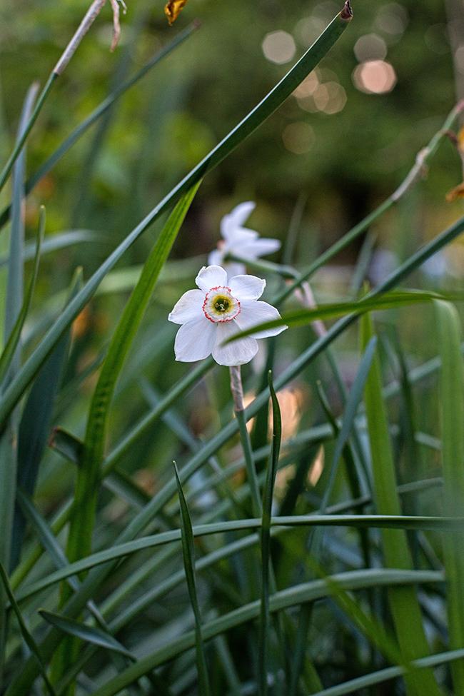 narcissus poeticus recurvus daffodil-1 small