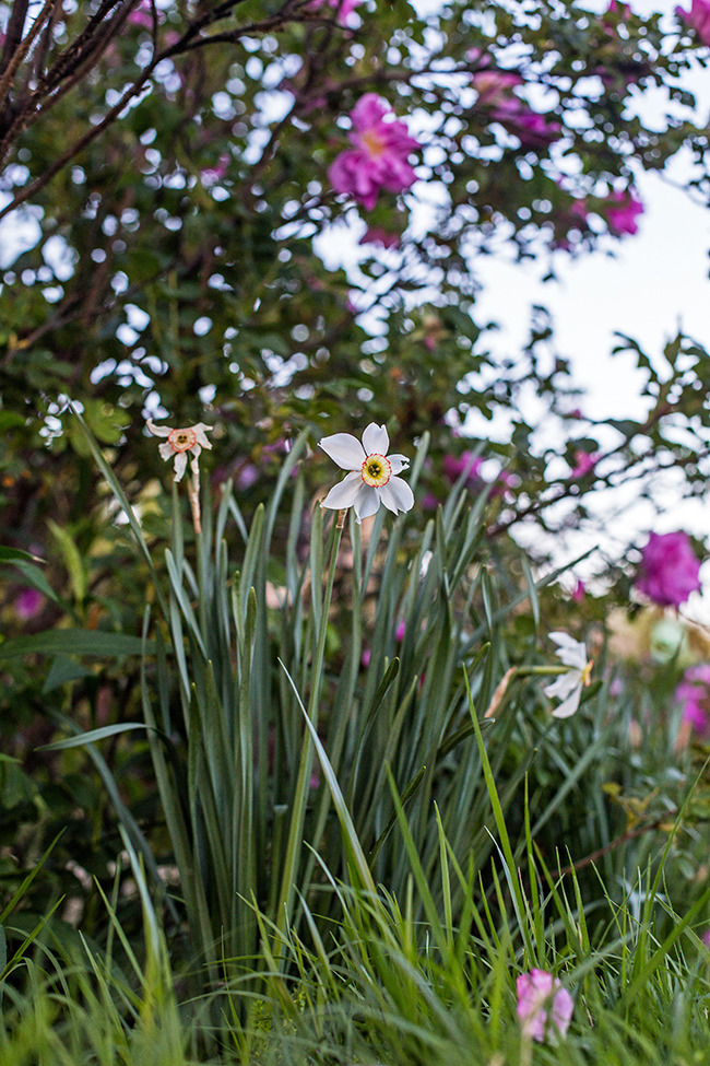 narcissus poeticus recurvus daffodil-2 small