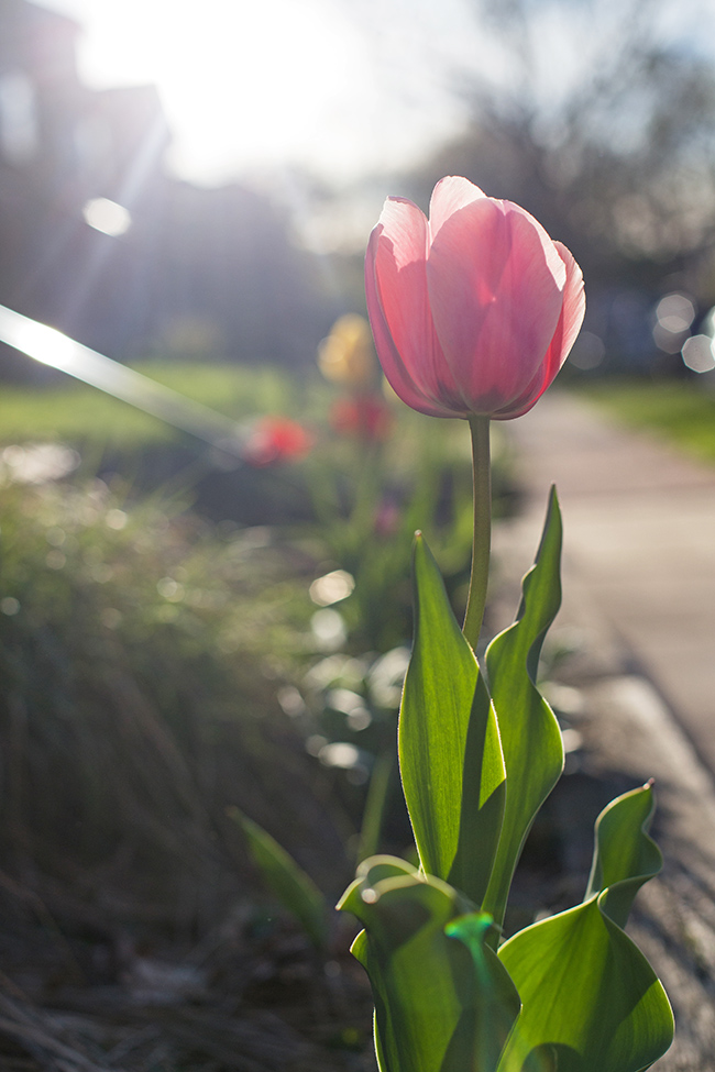 pink tulip-1 small