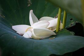 lotus in the gloaming-14 small