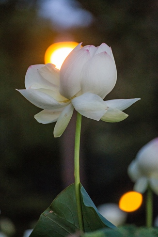 lotus in the gloaming-22 small