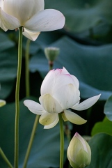 lotus in the gloaming-5 small