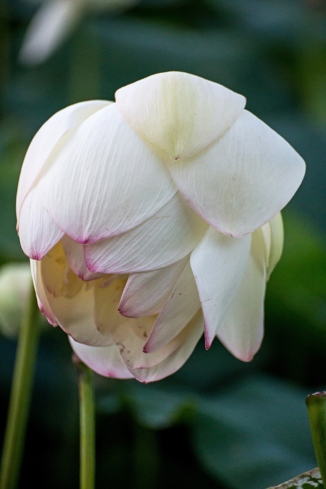 lotus in the gloaming-9 small