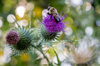 thistles and bumblebee-1 small