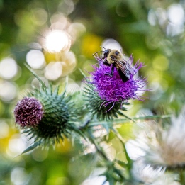 thistles and bumblebee-2 small