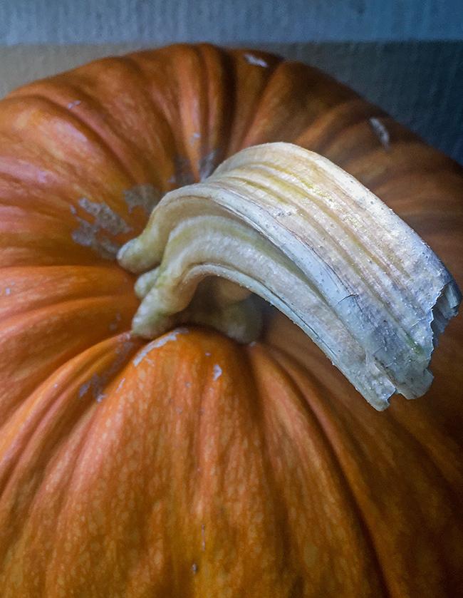 pumpkin stem-1 small