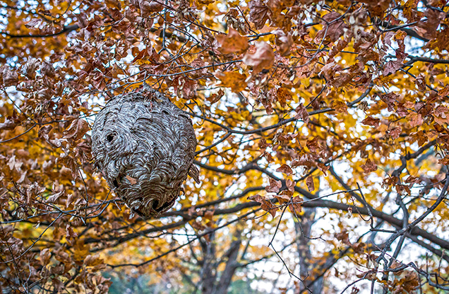 wasp nest in autumn-1 small